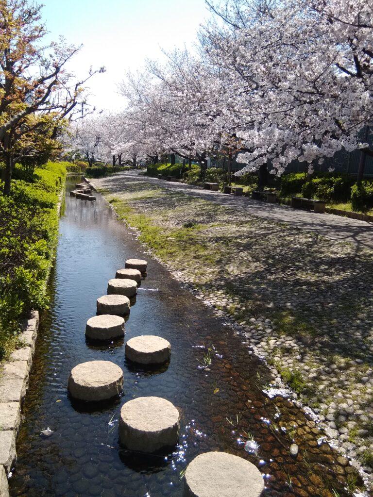 Cherry Blossom in Sakai (Osaka)