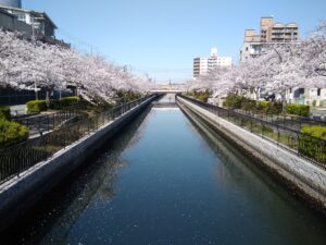 Cherry Blossom in Osaka (Sakai City)