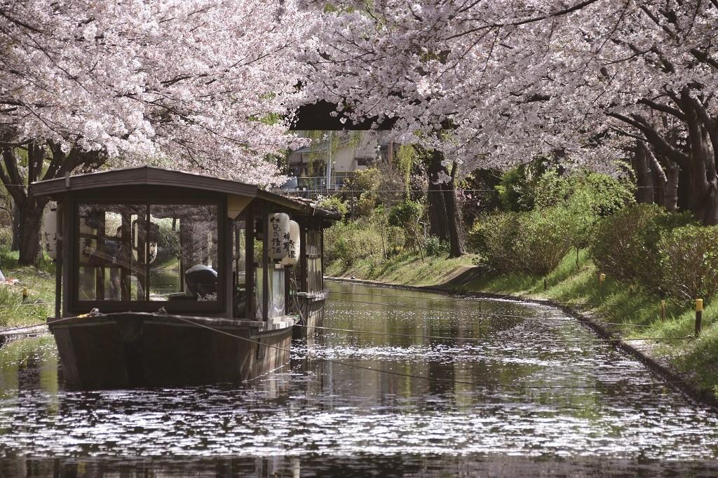 ซากุระเกียวโต