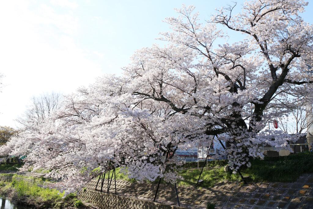 ดูซากุระเมืองนารา ริมแม่น้ำซาโฮ (Nara)