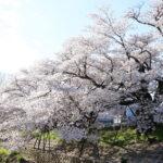 ดูซากุระเมืองนารา ริมแม่น้ำซาโฮ