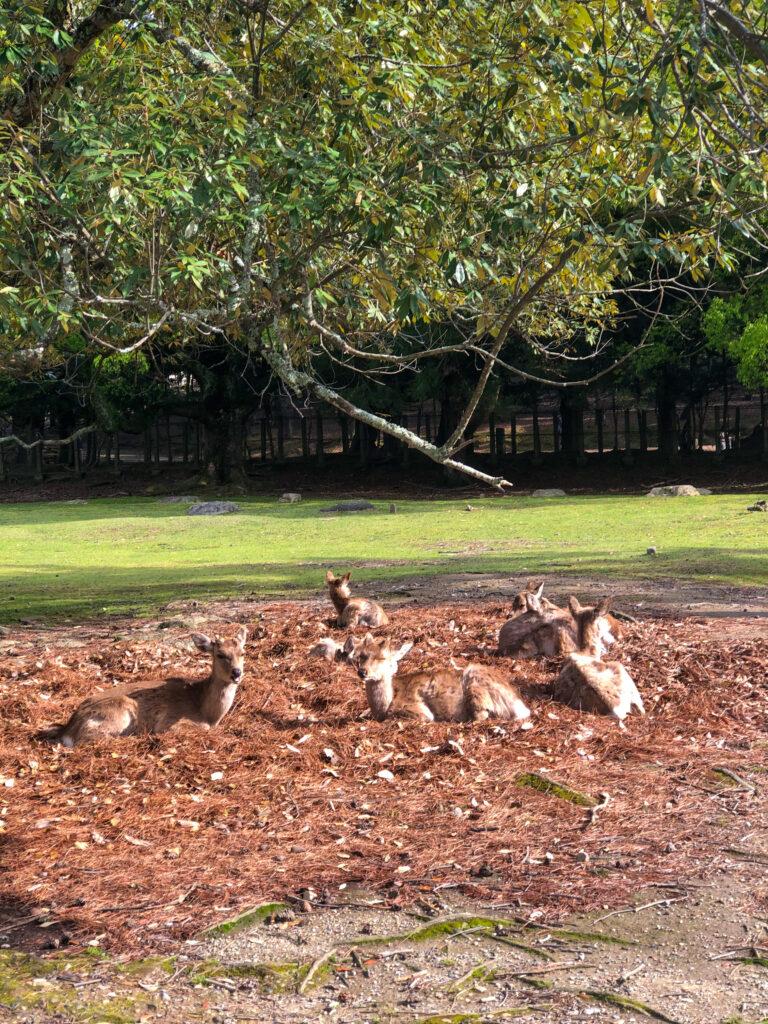 Deer In Nara Bow
